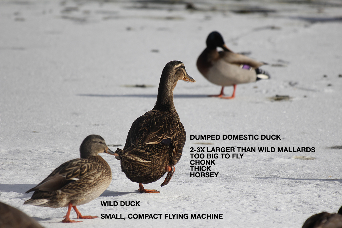 wild versus domestic ducks